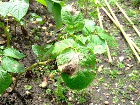 of plant diseases illustrations of plant diseases
