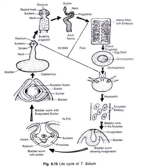 schematic structure biography tapeworm life cycle diagram www pixshark com images