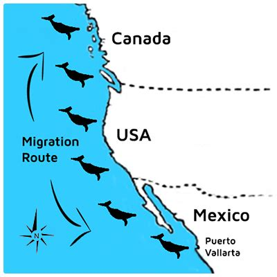 migration pattern of blue whale image gallery humpback whale migration map