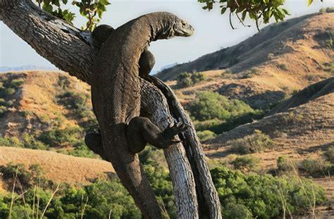 10 weird facts about the deadly komodo dragon listverse
