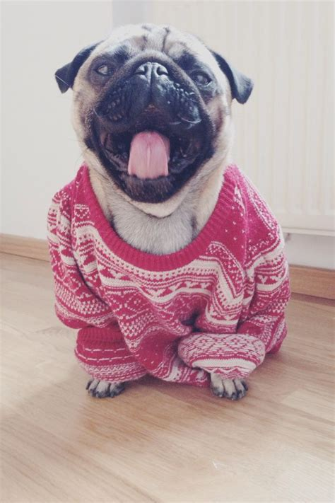 pugs in coats pug puppy dogs in clothes dogsinclothes dogs in clothes