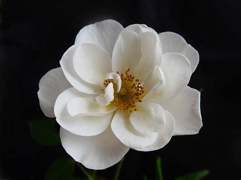 fiore bianco foto gratis rosa fiore bianco macro natura immagine