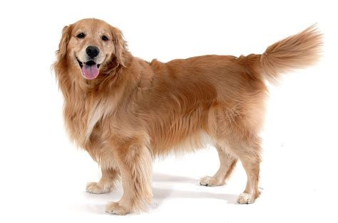 golden retriever benefits catherine boyer ma lcsw psychotherapy therapy dogs