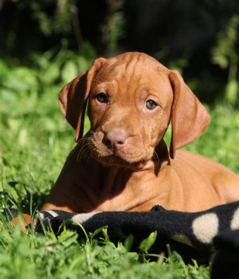 new puppy care puppy care and a new book totally gundogs