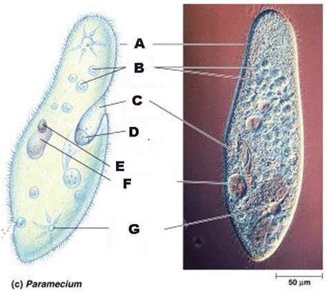 diagram of paramecium quia ap chapter 28 protists detailed
