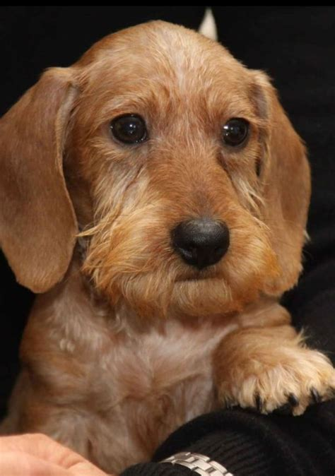 hair weiner 25 best ideas about wire haired dachshund on dachshund wiener dogs and