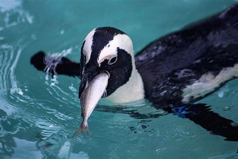 penguin diet and eating habits