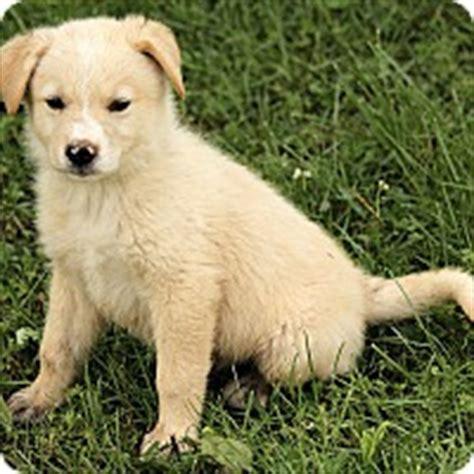 golden retriever rescue syracuse ny syracuse ny golden retriever great pyrenees mix meet a puppy for adoption