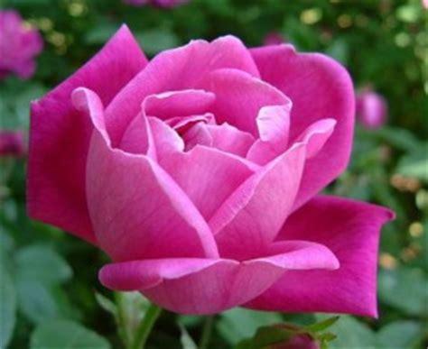 Teratai Merah Tunggal Cantik aneka informasi seputar bunga