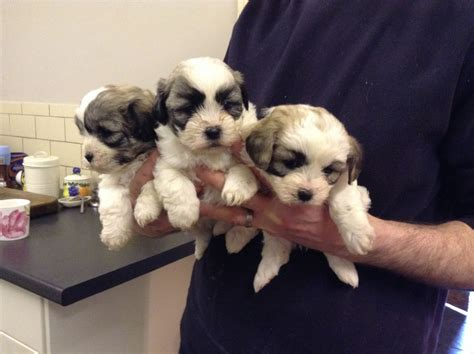 zuchon puppies for sale zuchon puppies for sale crediton pets4homes