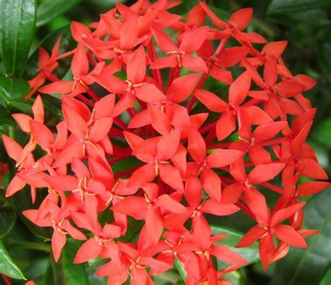 tanaman soka merah jepang ixora bibitbunga