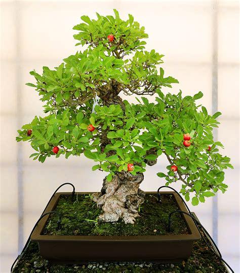 mudah memilih jenis pohon  dibuat seni bonsai