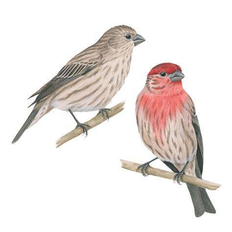 house finch celebrate urban birds