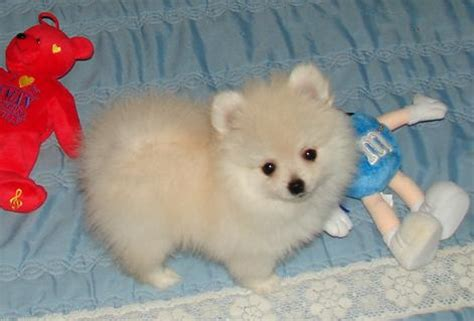 pomeranian ohio we may pomeranian puppies for sale in tennessee breeds picture