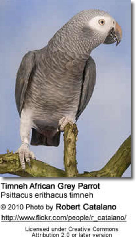 sierra leone grey parrot / timneh african grey parrot, or