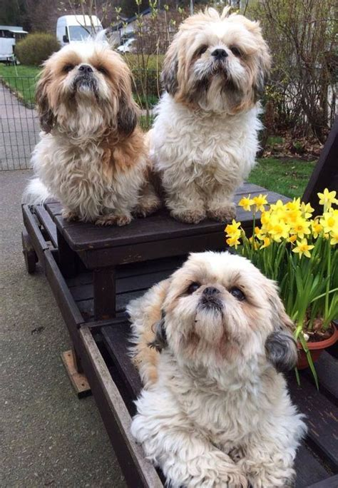 happy shih tzu shih tzus shih tzu and happy easter on