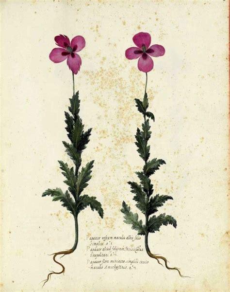 botanical flower carnation italian 11 botanical flower carnation italian 6 vintage botanical print botanical ephemera and