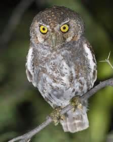 owl audubon field guide