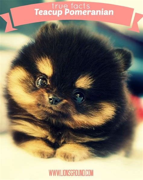 facts about pomeranian puppies pin by the lions ground entertainment on facts