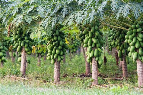 harvesting plantations in tarkeeth state how to start pawpaw farming in nigeria with n50 000
