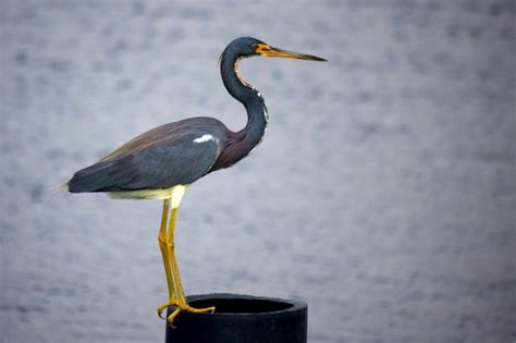 what color is heron free picture tricolored heron louisiana heron bird