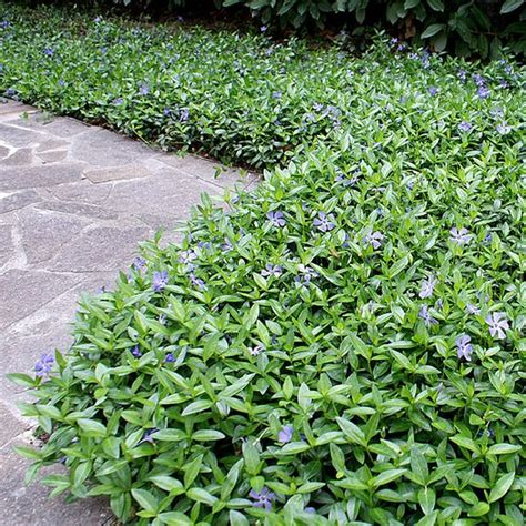 vinca minor ground cover gorgeous gardens of flowers pinterest periwinkle ground cover