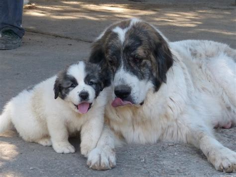 pyrenean mastiff puppies pyrenean mastiff breeders within the united states available puppiessiggy s paradise