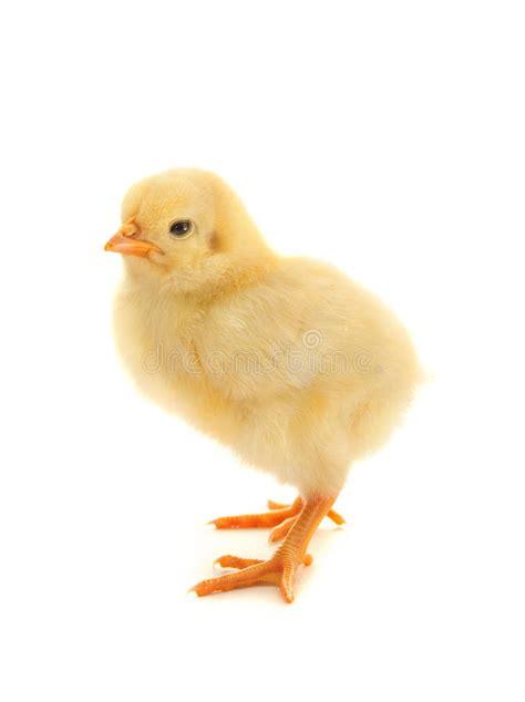 imagenes libres pollo pollo amarillo en un fondo blanco foto de archivo libre de