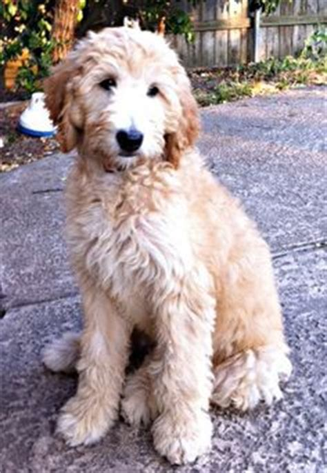 Goldendoodle Hair Types by Goldendoodle Haircut Photos Search Results Hairstyle