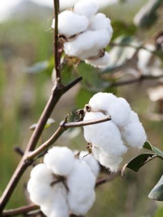 hm group cotton