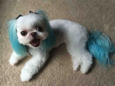 elite shih tzu this is my favorite haircut on my shih tzu done by roberto korean style with a