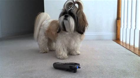 shih tzu talking shih tzu is listening to our talking and singing phone