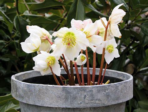 rosa di natale in vaso la rosa di natale coltivabile anche in vaso