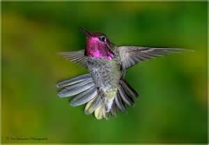anna s hummingbird annas hummingbird 278
