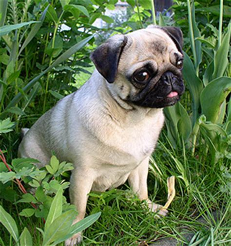 pug allergies treatment of allergic atopic dermatitis in dogs with recipe all