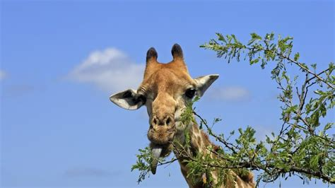 the giraffe that ate what do giraffes eat reference com