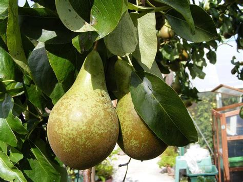 conference pear tree dwarf variety great  smaller
