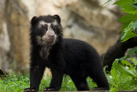 spectacled bear spectacled bear the biggest animals kingdom