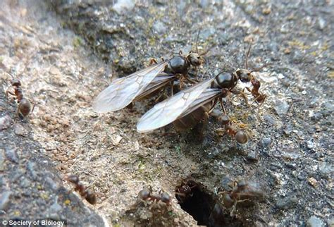 forget flying ant day    month  people join citizen survey  pin point