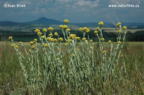 Immortelle Des Sables by 201 Lichryse Immortelle Des Sables Photographie