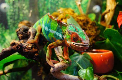 colorful chameleon chameleon colorful yemen 183 free photo on pixabay