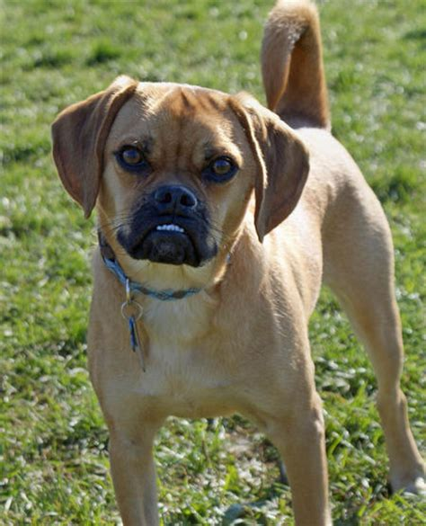 pictures of puggle puppies puggle dogs designer dogs puggles breeds picture