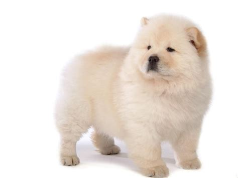 chow pictures white chow chow 1600x1200 wallpapers other 1600x1200 wallpapers pictures free