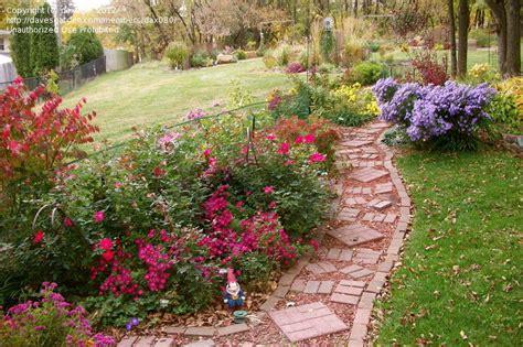 beginner gardening shrub roses vs knockout roses 4 by dax080