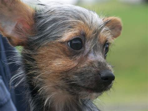 yorkie poo chihuahua happy pets contact us