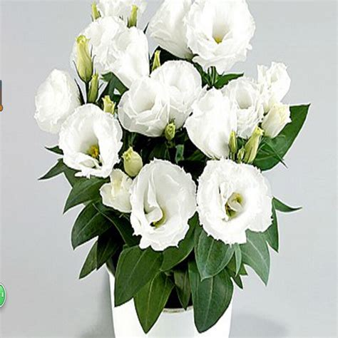 Potted Plants by Fleurs Lisianthus