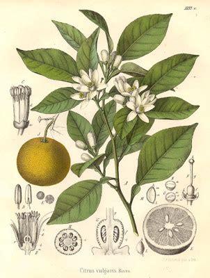 atelier fiore di zagara dell albero dell arancio amaro non si getta nulla la