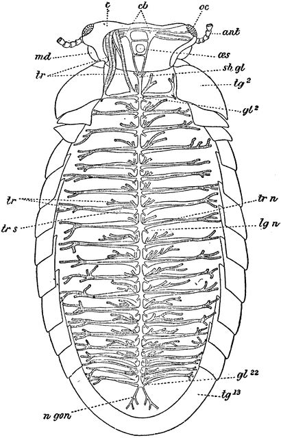 labelled diagram of a millipede diagram of nerovous and circulatory system of