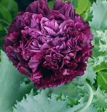 Bibit Tanaman Strawberry Earlybrite bibit benih peony poppy black jual tanaman hias