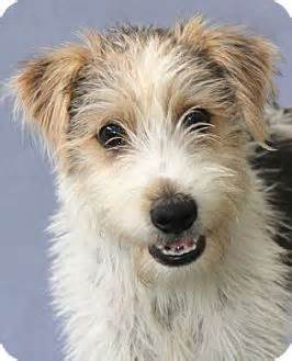 Wirehaired fox terrier mix puppy for adoption in encinitas california